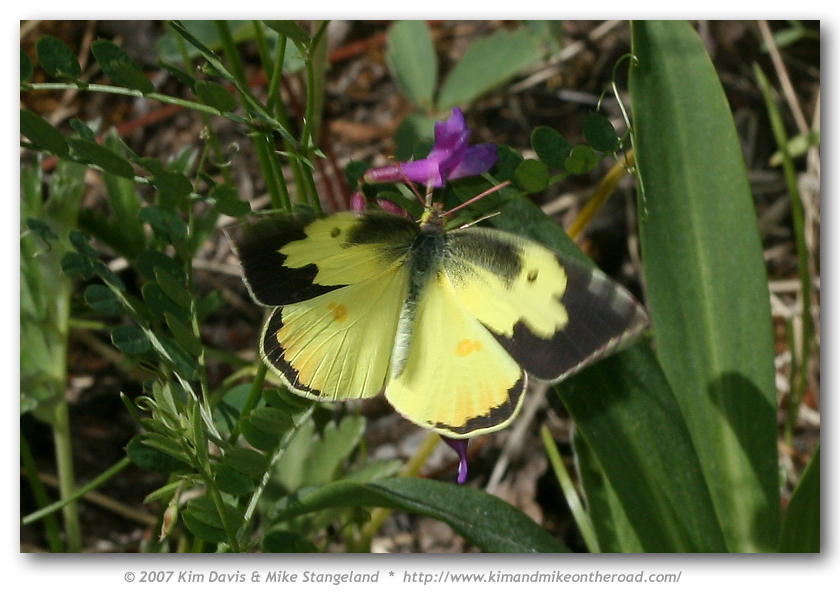 http://www.kimandmikeontheroad.com/images/Butterflies/Sulphurs-Oranges/Southern_Dogface/Southern_Dogface_-_Zerene_cesonia_Blue_Meadow_30-IV-07_5.jpg